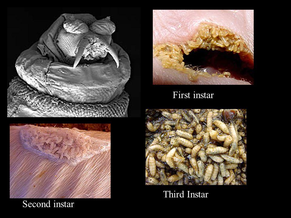 First instar Second instar Third Instar