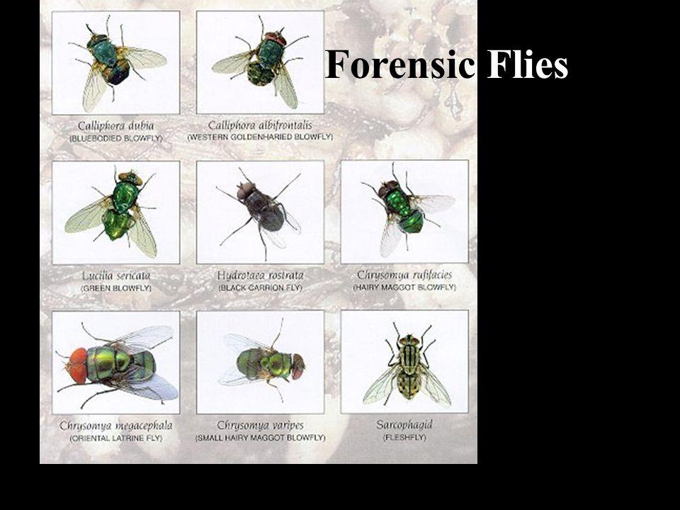 Forensic Flies