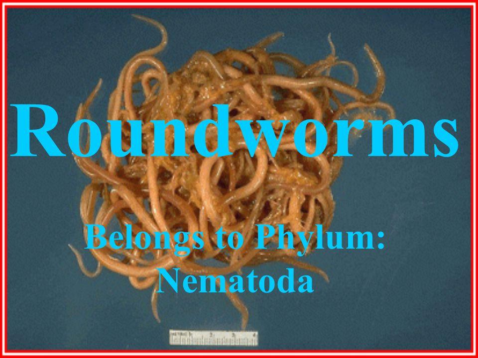 Roundworms Belongs to Phylum: Nematoda