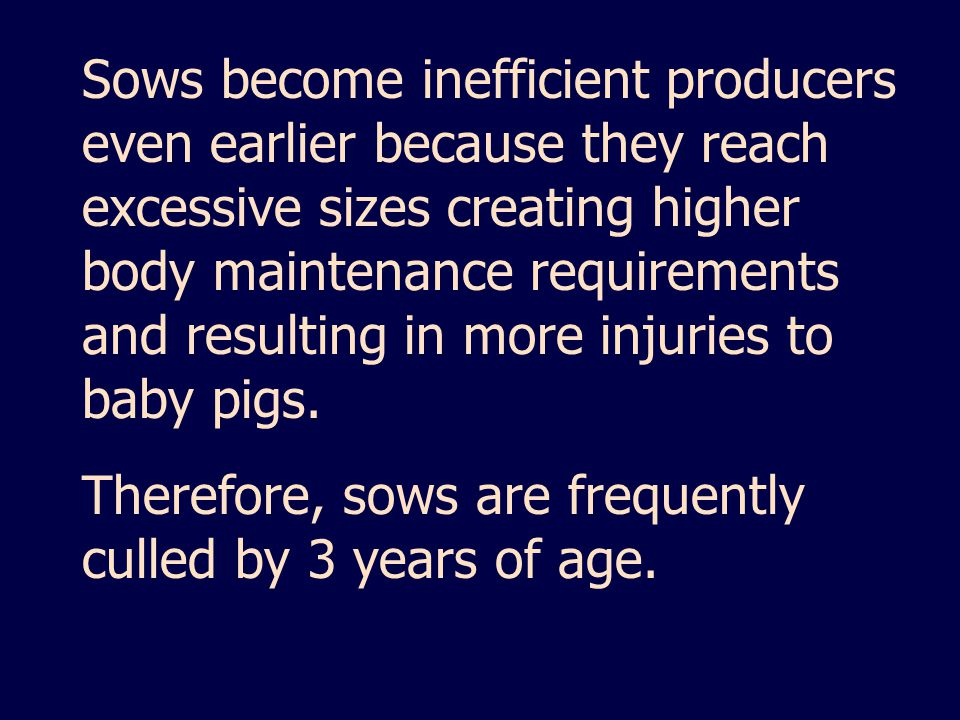 Sows become inefficient producers even earlier because they reach excessive sizes creating higher body maintenance requirements and resulting in more injuries to baby pigs.