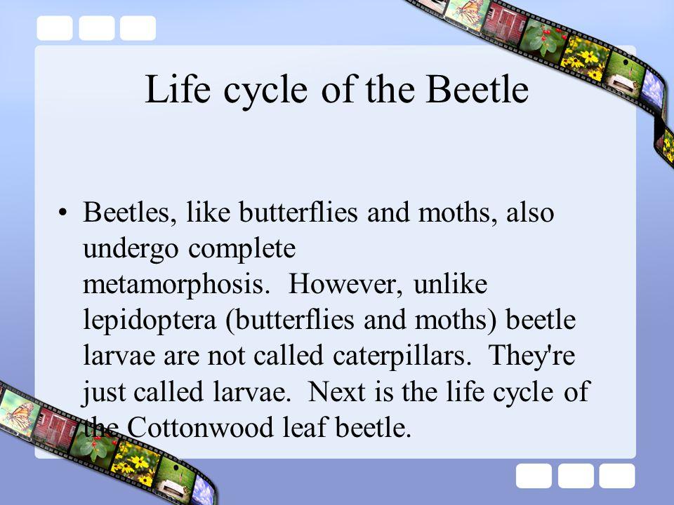 Life cycle of the Beetle Beetles, like butterflies and moths, also undergo complete metamorphosis.