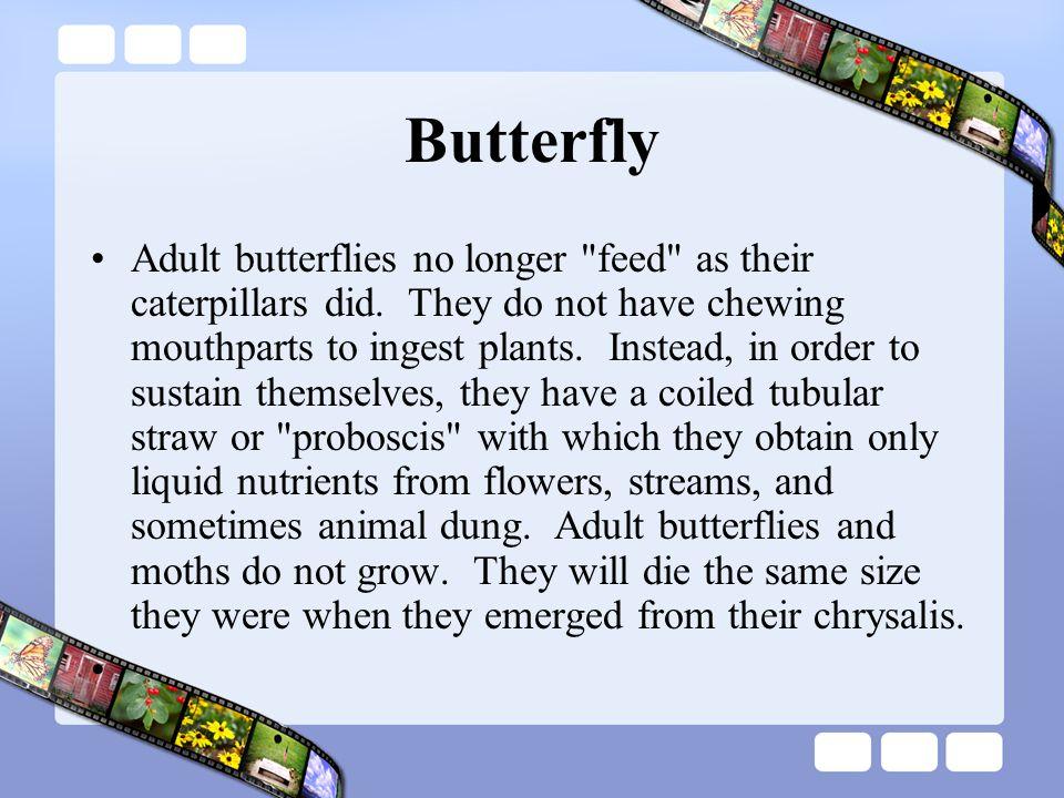 Butterfly Adult butterflies no longer feed as their caterpillars did.