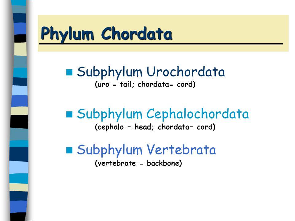 Phylum Chordata Subphylum Urochordata (uro = tail; chordata= cord) Subphylum Cephalochordata (cephalo = head; chordata= cord) Subphylum Vertebrata (vertebrate = backbone)