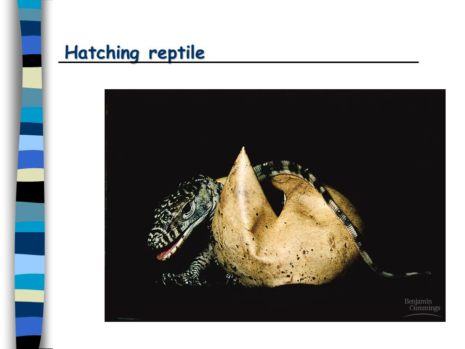Hatching reptile