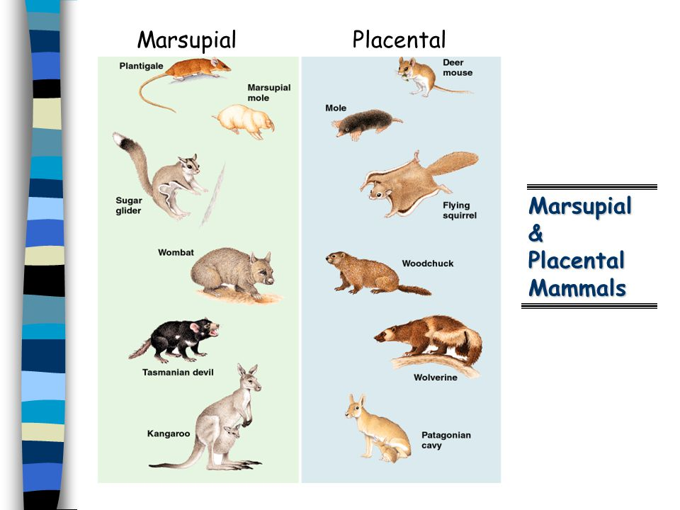 Marsupial & Placental Mammals Marsupial Placental