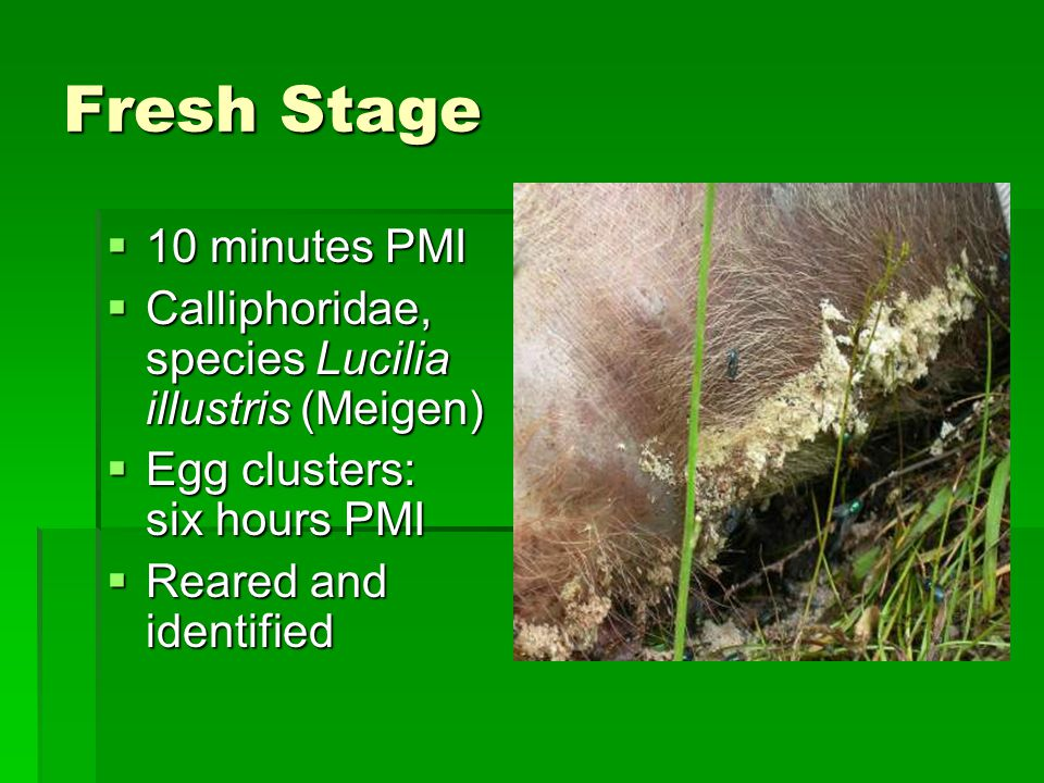 Fresh Stage  10 minutes PMI  Calliphoridae, species Lucilia illustris (Meigen)  Egg clusters: six hours PMI  Reared and identified