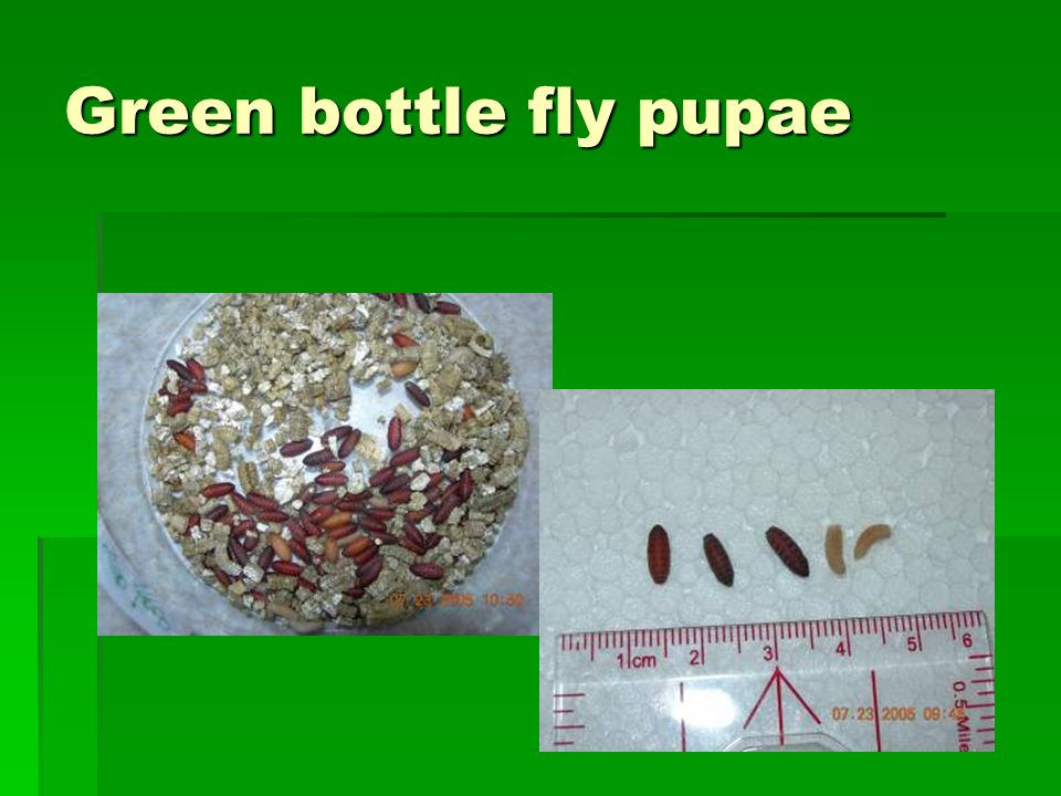 Green bottle fly pupae