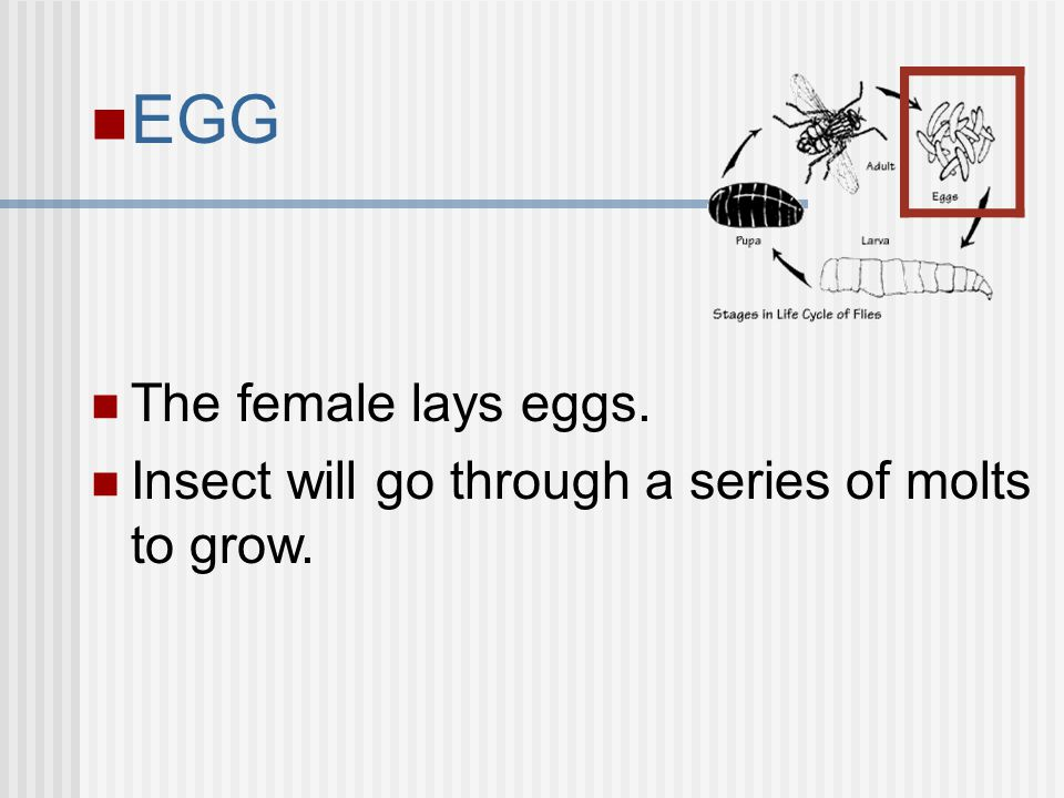 EGG The female lays eggs. Insect will go through a series of molts to grow.