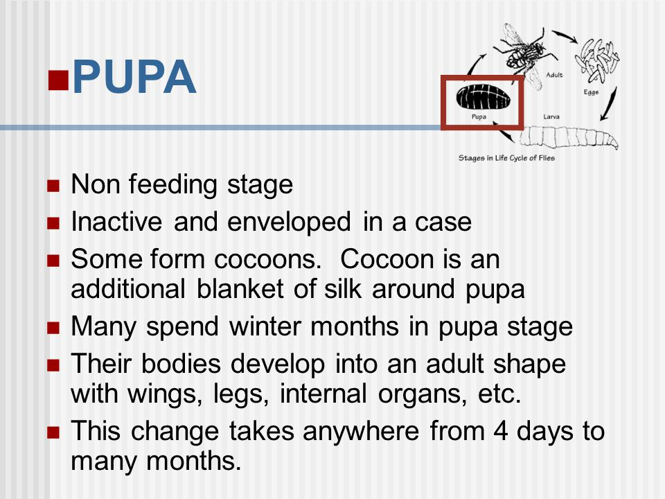 PUPA Non feeding stage Inactive and enveloped in a case Some form cocoons. Cocoon is an additional blanket of silk around pupa Many spend winter month