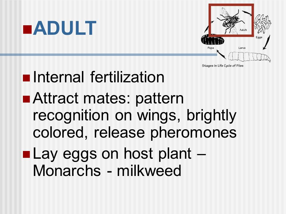 ADULT Internal fertilization Attract mates: pattern recognition on wings, brightly colored, release pheromones Lay eggs on host plant – Monarchs - mil