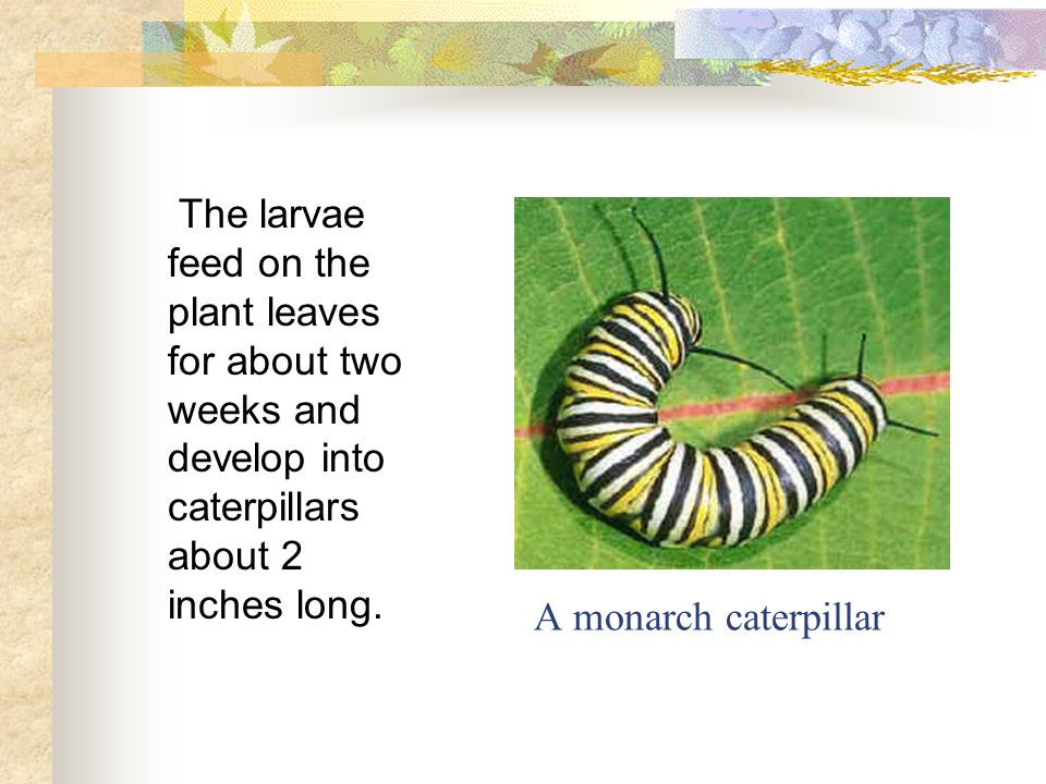 A monarch caterpillar The larvae feed on the plant leaves for about two weeks and develop into caterpillars about 2 inches long.