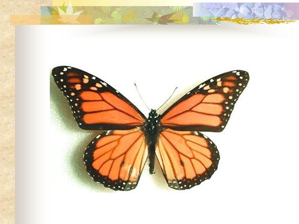 Adult female monarchs lay their eggs on the underside of milkweed leaves.