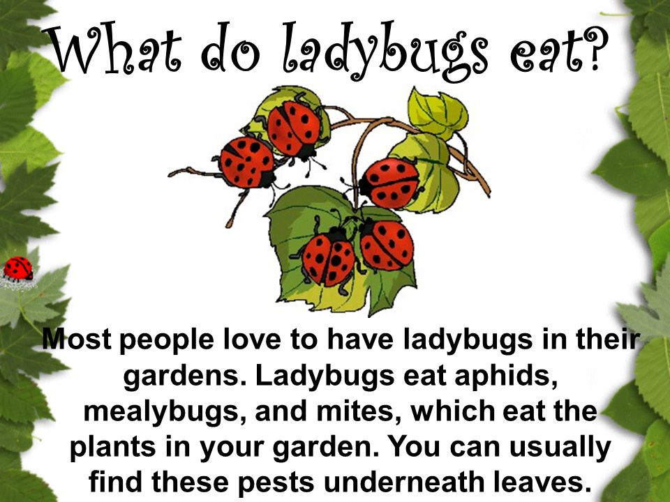 What do ladybugs eat? Most people love to have ladybugs in their gardens. Ladybugs eat aphids, mealybugs, and mites, which eat the plants in your gard