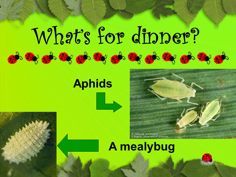 What's for dinner? Aphids A mealybug