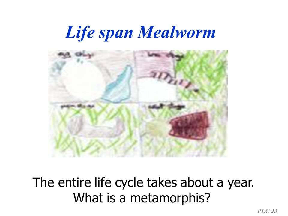 Life span Mealworm PLC 23 The entire life cycle takes about a year. What is a metamorphis?