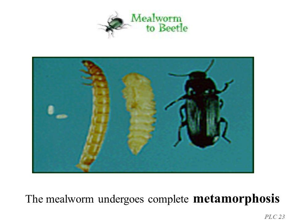 The mealworm undergoes complete metamorphosis PLC 23