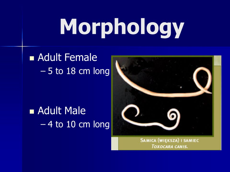 Morphology Adult Female – –5 to 18 cm long Adult Male – –4 to 10 cm long