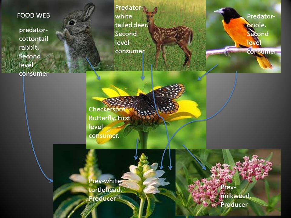 FOOD WEB predator- cottontail rabbit. Second level consumer Predator- white tailed deer. Second level consumer Predator- oriole. Second level consumer