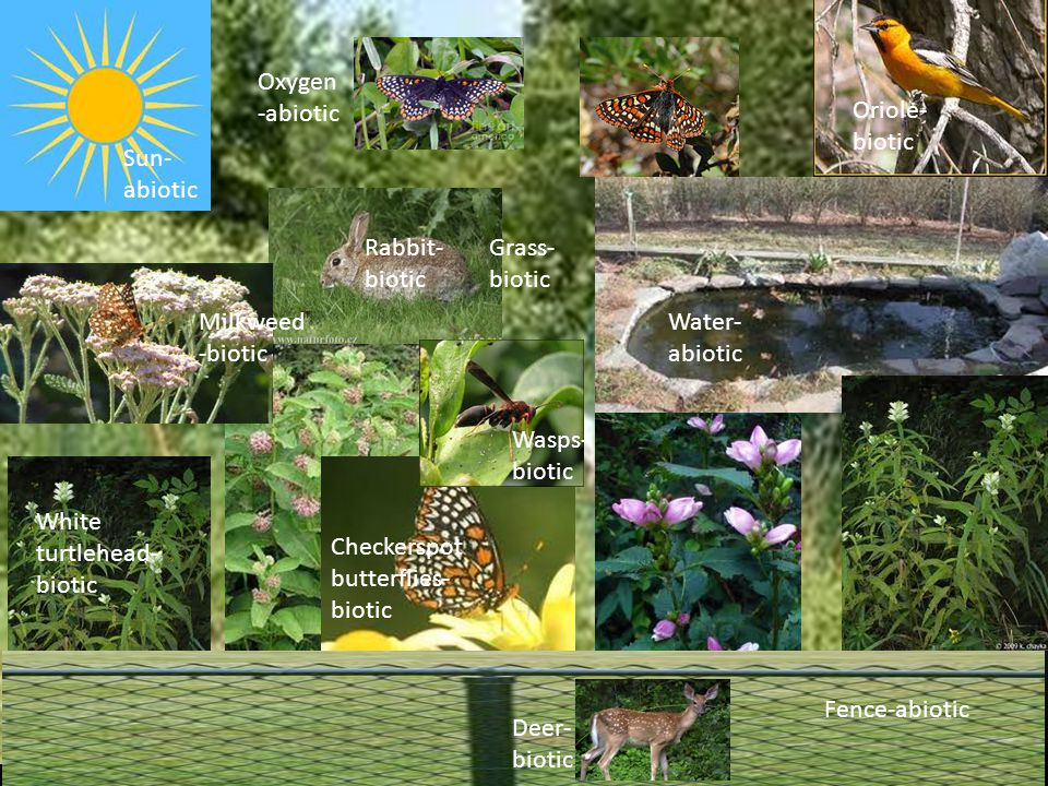 Sun- abiotic Water- abiotic Rabbit- biotic Milkweed -biotic White turtlehead- biotic Checkerspot butterflies- biotic Fence-abiotic Deer- biotic Oriole