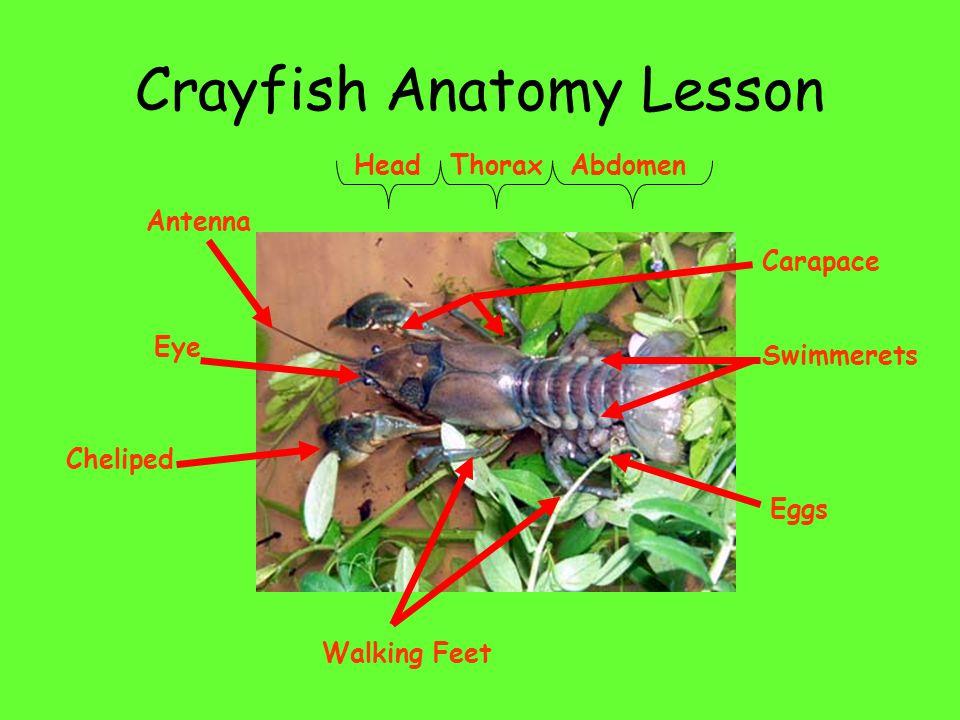 Crayfish Anatomy Lesson HeadThoraxAbdomen Antenna Eye Cheliped Walking Feet Eggs Carapace Swimmerets