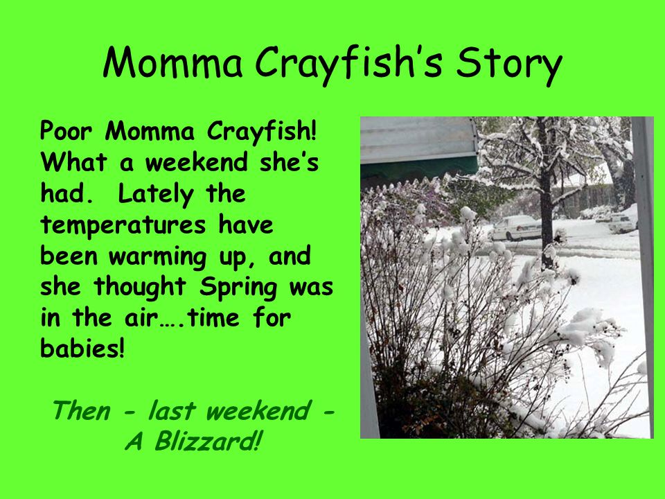 Momma Crayfish's Story Poor Momma Crayfish. What a weekend she's had.
