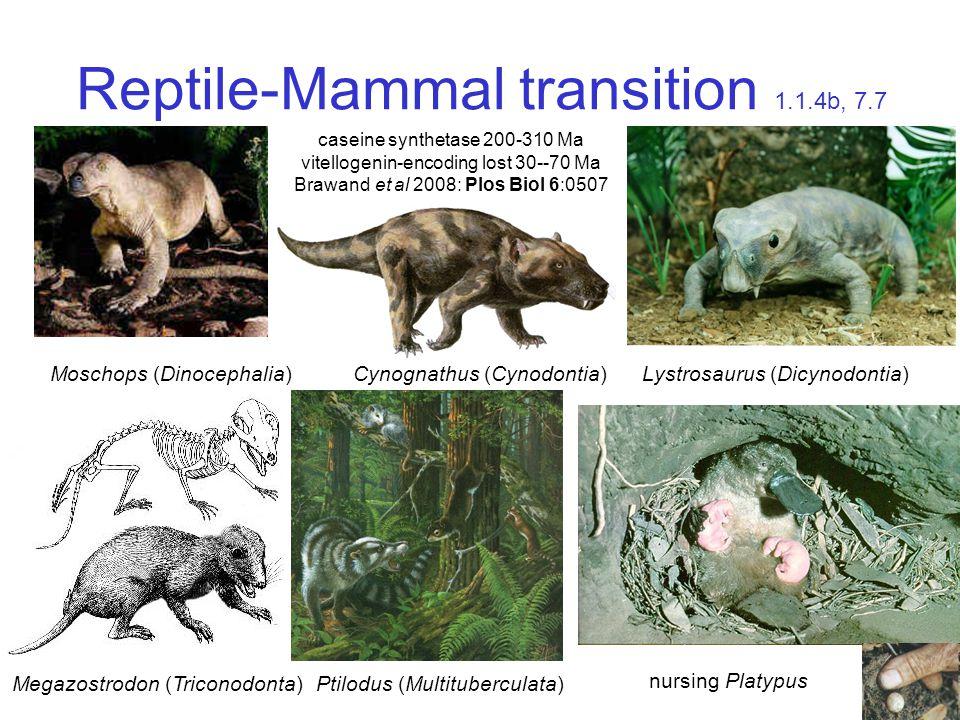 Reptile-Mammal transition 1.1.4b, 7.7 nursing Platypus Moschops (Dinocephalia) Megazostrodon (Triconodonta) Ptilodus (Multituberculata) Cynognathus (Cynodontia)Lystrosaurus (Dicynodontia) caseine synthetase 200-310 Ma vitellogenin-encoding lost 30--70 Ma Brawand et al 2008: Plos Biol 6:0507