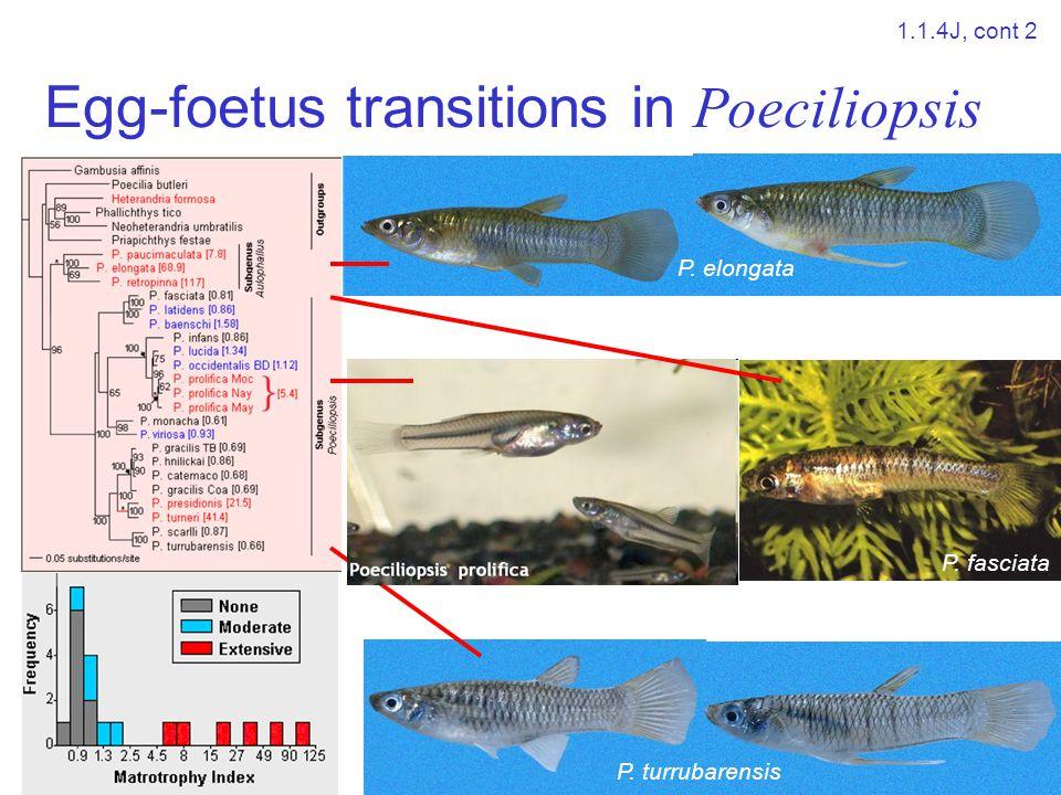 Egg-foetus transitions in Poeciliopsis P. elongata P. fasciata P. turrubarensis 1.1.4J, cont 2
