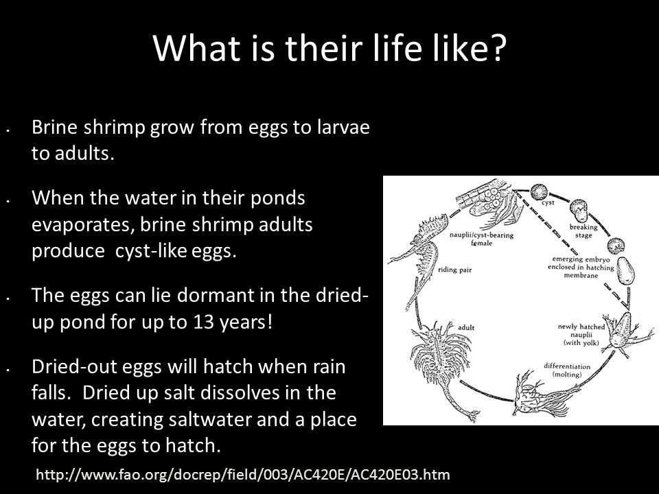 What is their life like. Brine shrimp grow from eggs to larvae to adults.