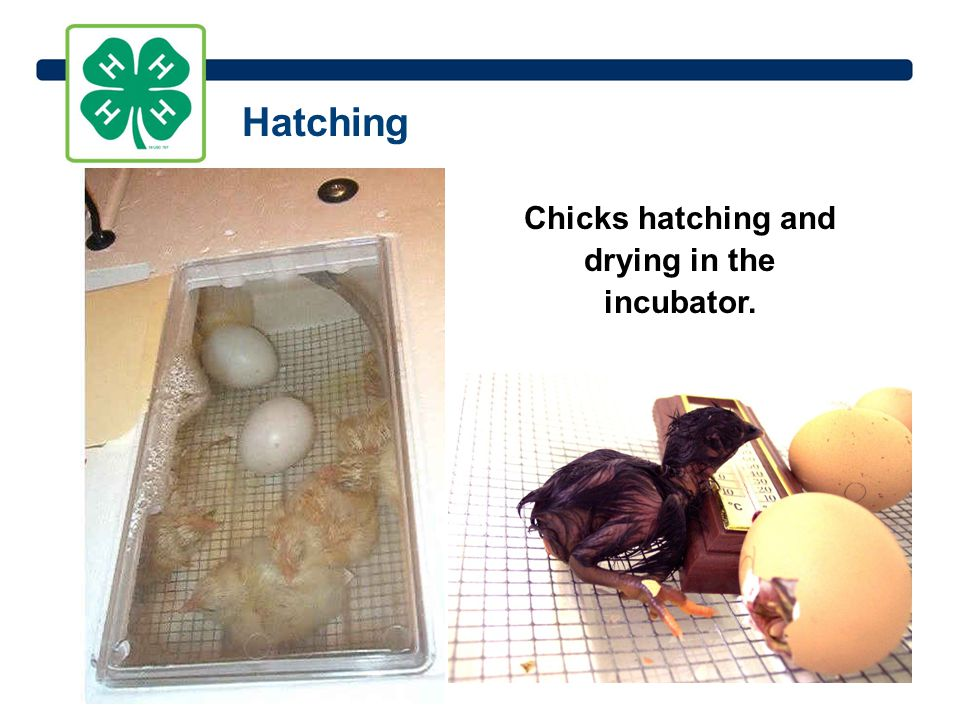 Chicks hatching and drying in the incubator. Hatching