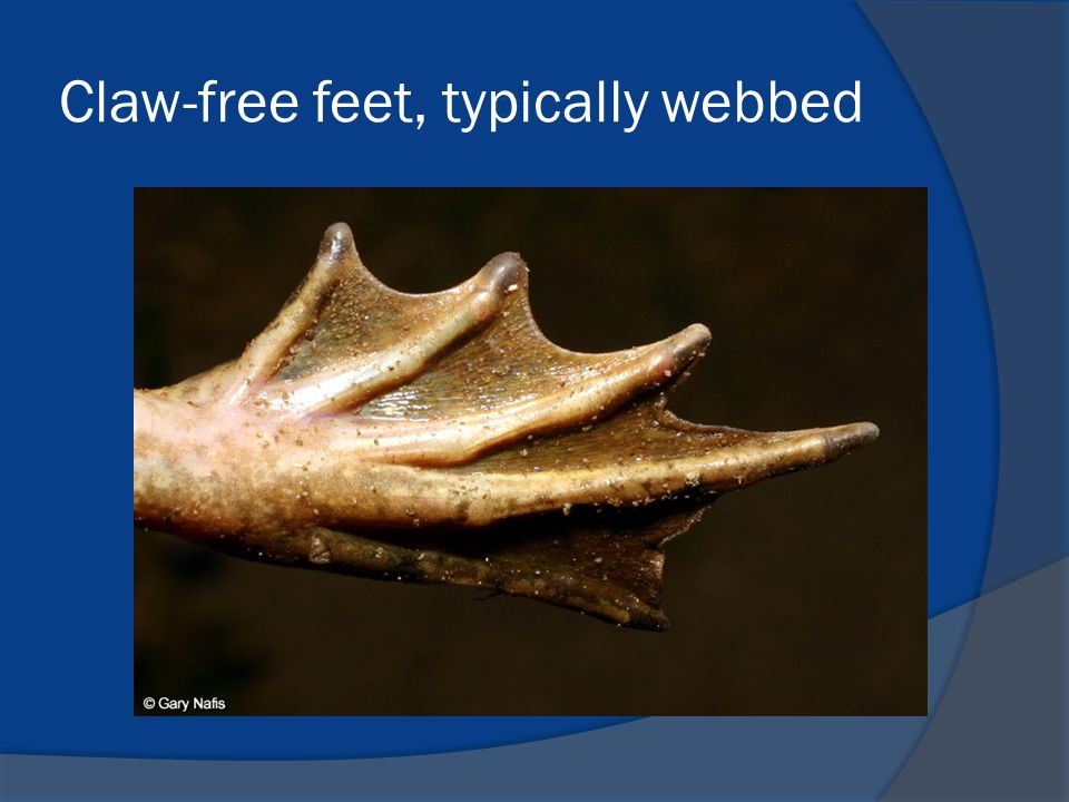 Claw-free feet, typically webbed