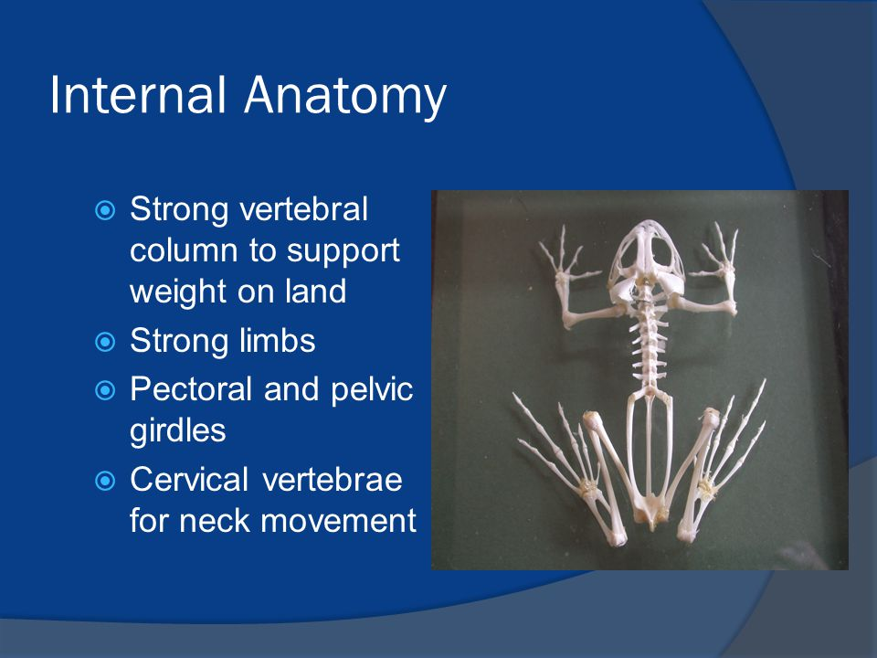 Internal Anatomy  Strong vertebral column to support weight on land  Strong limbs  Pectoral and pelvic girdles  Cervical vertebrae for neck moveme