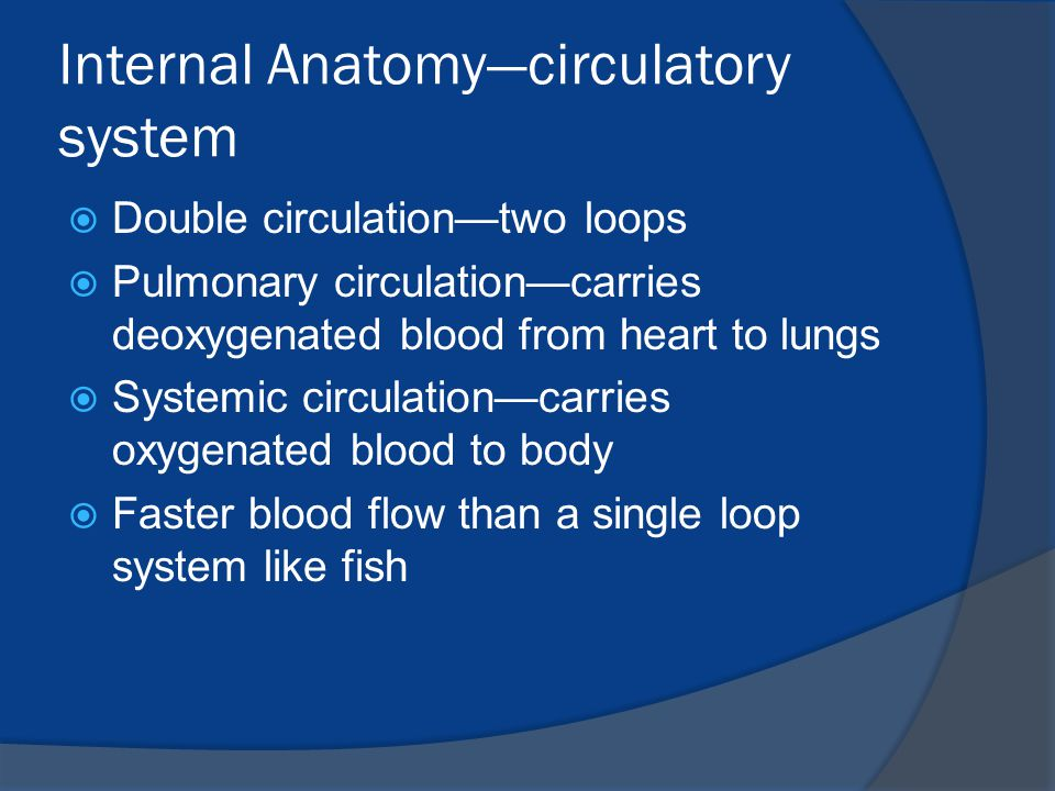 Internal Anatomy—circulatory system  Double circulation—two loops  Pulmonary circulation—carries deoxygenated blood from heart to lungs  Systemic c