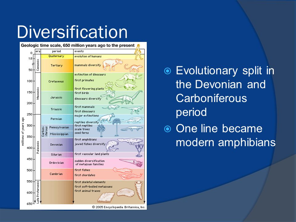 Diversification  Evolutionary split in the Devonian and Carboniferous period  One line became modern amphibians