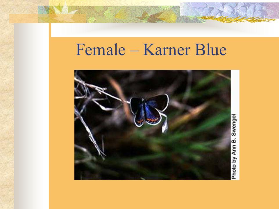 Female – Karner Blue
