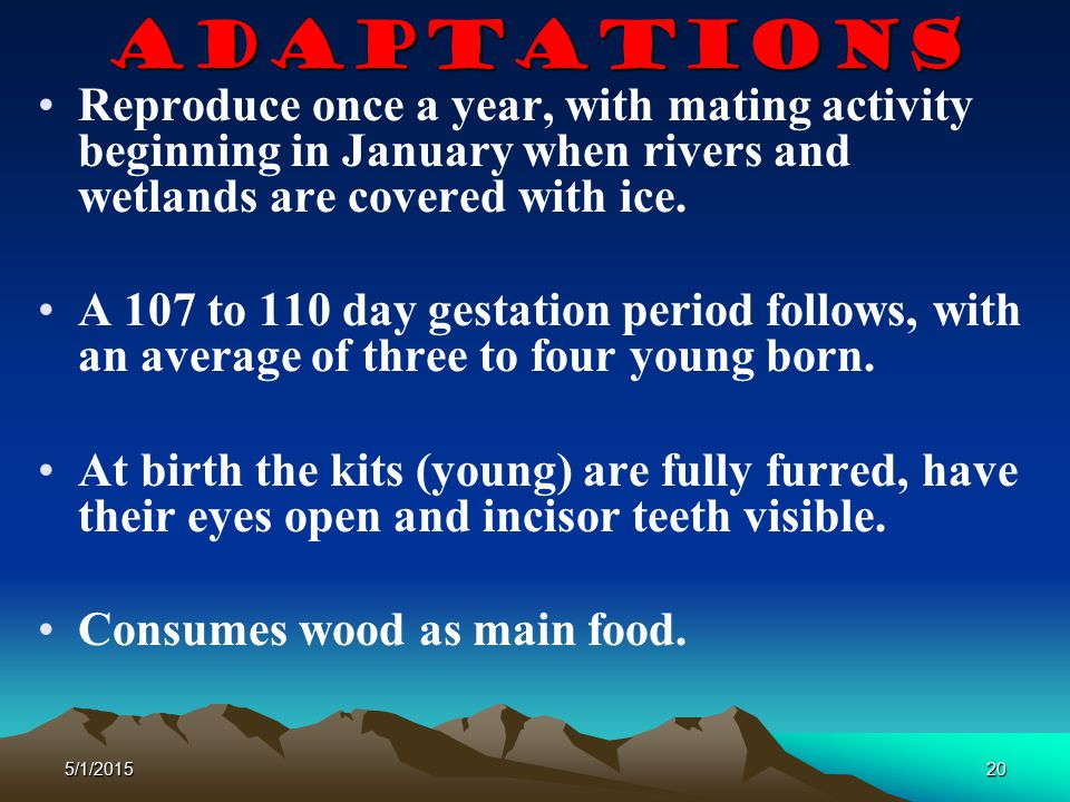 5/1/201520 Adaptations Reproduce once a year, with mating activity beginning in January when rivers and wetlands are covered with ice. A 107 to 110 da