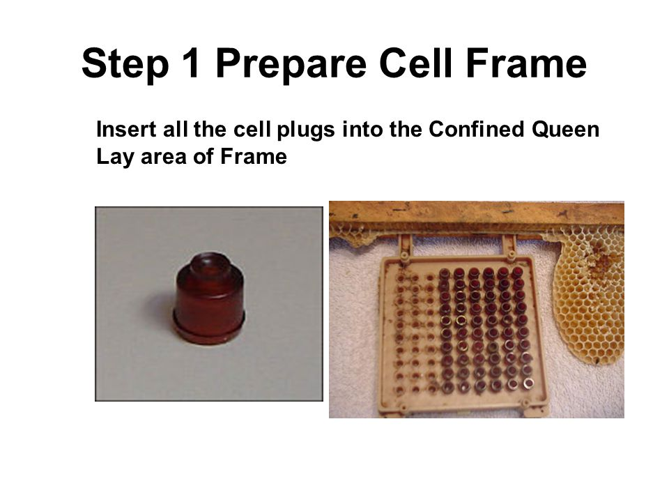Step 2 – Prepare cell frame (2) Days prior to confinement of queen in Jenter frame Insert frame in colony so bees can polish cells Remove the complete cover so bees can access cells to clean up.
