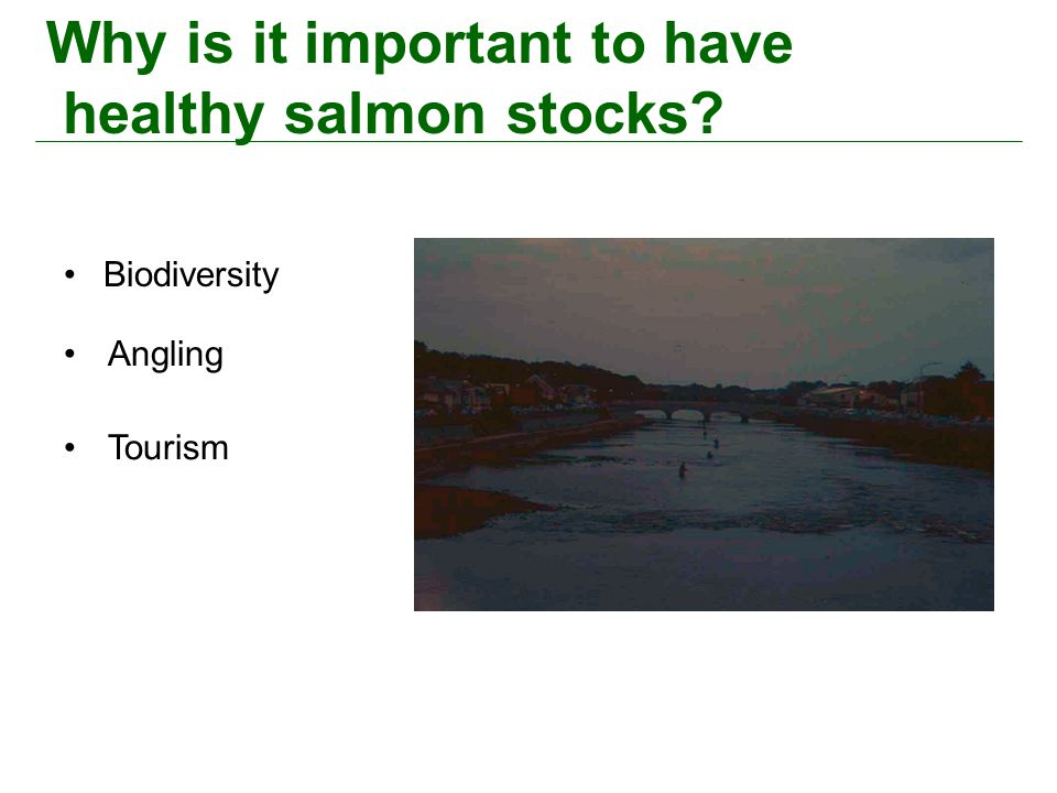 Why is it important to have healthy salmon stocks? Biodiversity Angling Tourism