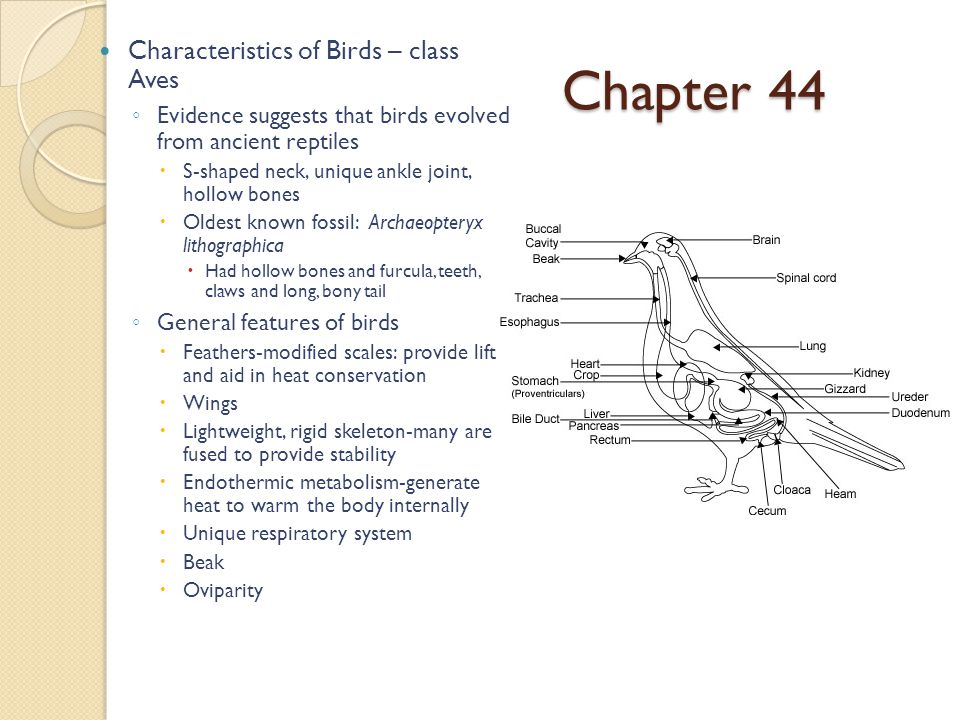 Chapter 44 Characteristics of Birds – class Aves ◦ Evidence suggests that birds evolved from ancient reptiles  S-shaped neck, unique ankle joint, hollow bones  Oldest known fossil: Archaeopteryx lithographica  Had hollow bones and furcula, teeth, claws and long, bony tail ◦ General features of birds  Feathers-modified scales: provide lift and aid in heat conservation  Wings  Lightweight, rigid skeleton-many are fused to provide stability  Endothermic metabolism-generate heat to warm the body internally  Unique respiratory system  Beak  Oviparity