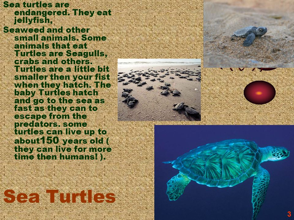 Sea Turtles Sea turtles are endangered. They eat jellyfish, Seaweed and other small animals. Some animals that eat Turtles are Seagulls, crabs and oth