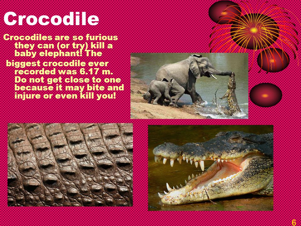 Crocodile Crocodiles are so furious they can (or try) kill a baby elephant! The biggest crocodile ever recorded was 6.17 m. Do not get close to one be