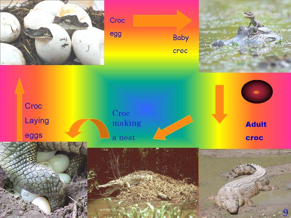 9 Croc egg Baby croc Adult croc Croc Laying eggs Croc making a nest