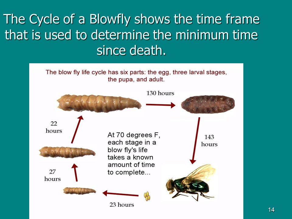 14 The Cycle of a Blowfly shows the time frame that is used to determine the minimum time since death.
