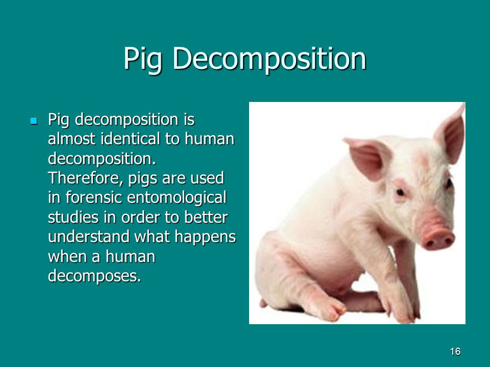 16 Pig Decomposition Pig decomposition is almost identical to human decomposition. Therefore, pigs are used in forensic entomological studies in order