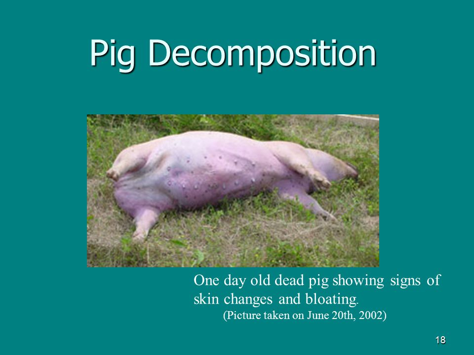 18 Pig Decomposition One day old dead pig showing signs of skin changes and bloating. (Picture taken on June 20th, 2002)