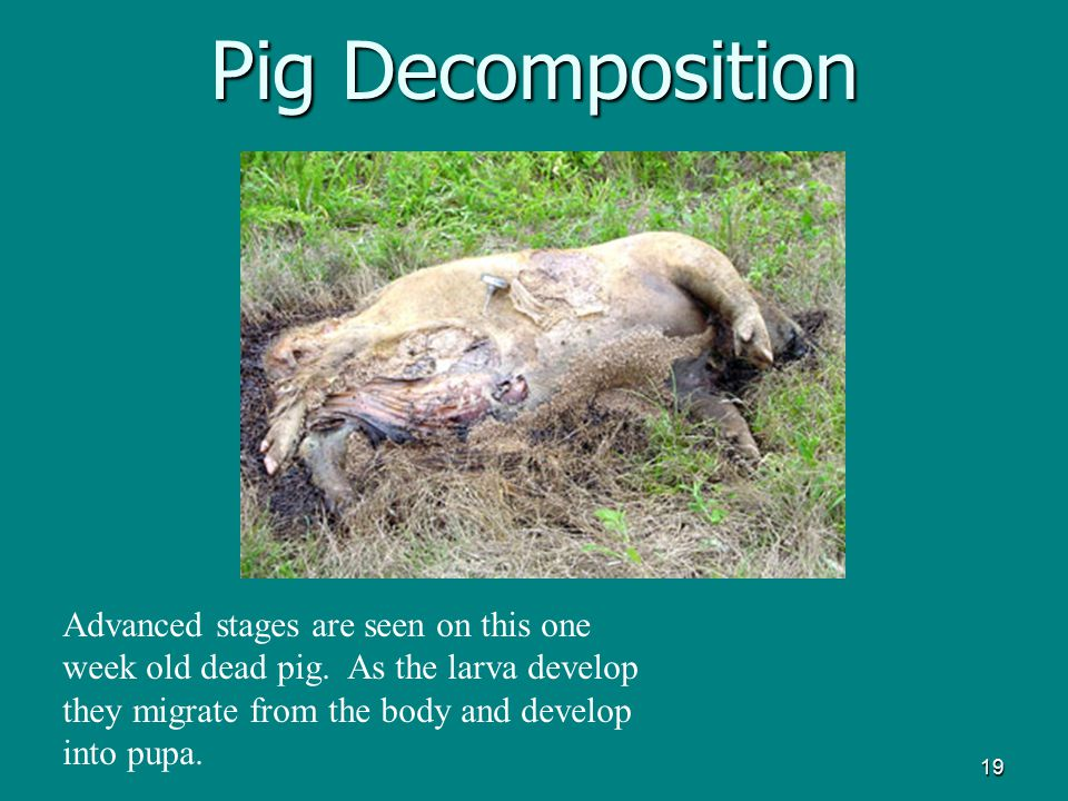 19 Pig Decomposition Advanced stages are seen on this one week old dead pig. As the larva develop they migrate from the body and develop into pupa.
