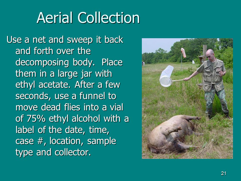 21 Aerial Collection Use a net and sweep it back and forth over the decomposing body. Place them in a large jar with ethyl acetate. After a few second