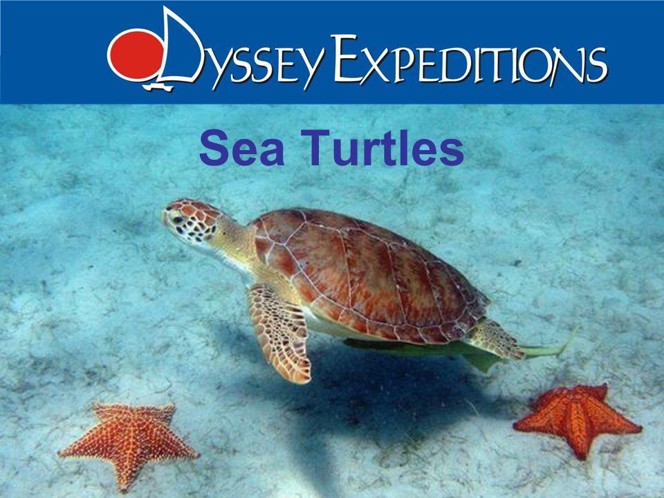 Caroline Rogers Sea Turtles