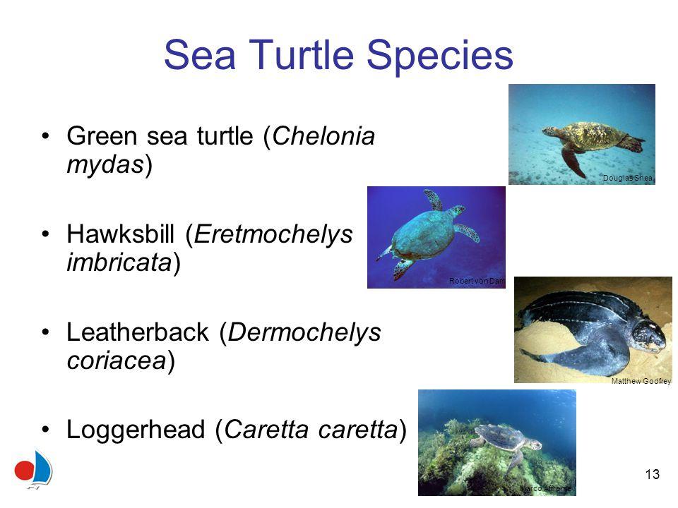 13 Sea Turtle Species Green sea turtle (Chelonia mydas) Hawksbill (Eretmochelys imbricata) Leatherback (Dermochelys coriacea) Loggerhead (Caretta caretta) Robert von DamDouglas Shea Matthew Godfrey Marco Affronte