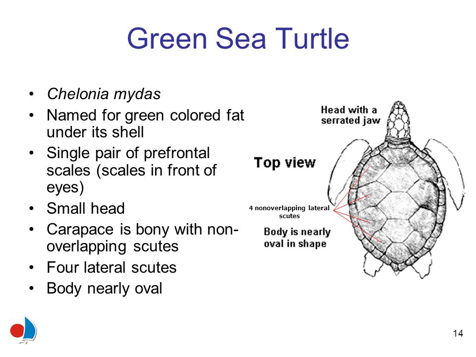 14 Green Sea Turtle Chelonia mydas Named for green colored fat under its shell Single pair of prefrontal scales (scales in front of eyes) Small head Carapace is bony with non- overlapping scutes Four lateral scutes Body nearly oval 4 nonoverlapping lateral scutes