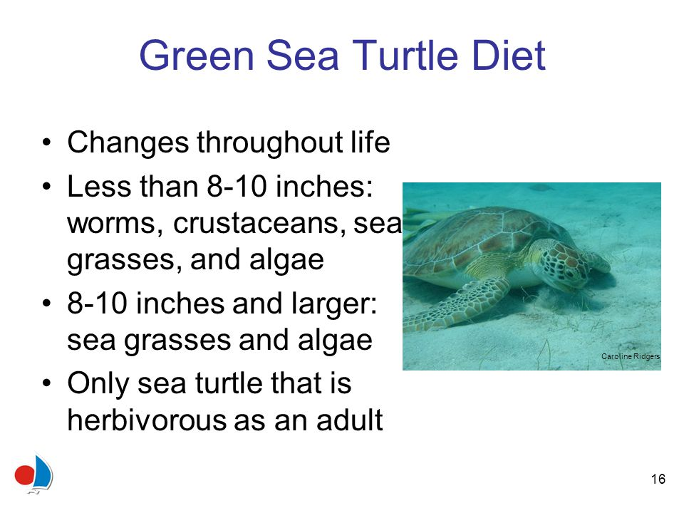 16 Green Sea Turtle Diet Changes throughout life Less than 8-10 inches: worms, crustaceans, sea grasses, and algae 8-10 inches and larger: sea grasses and algae Only sea turtle that is herbivorous as an adult Caroline Ridgers